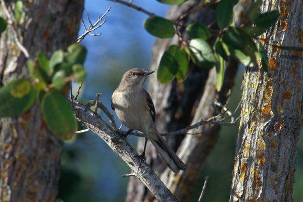 Los sinsontes imitan el llamado de otras aves.