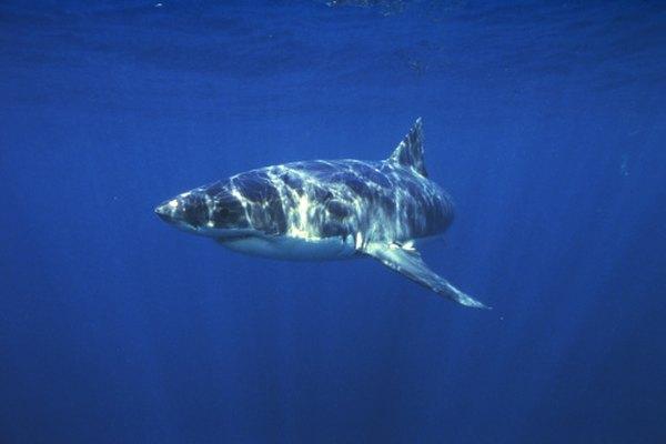 El tiburón blanco es uno de los depredadores más feroces del océano.