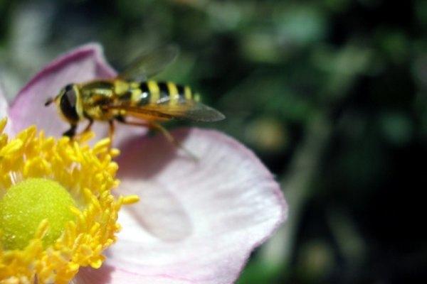 Los avispones son conocidos por sus gruesas franjas amarillas y negras.