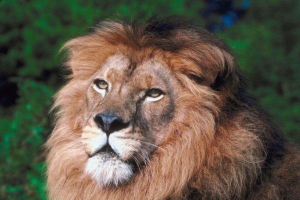 El león africano es la subespecie de león más conocida.