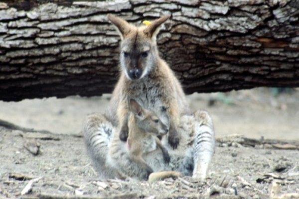 Una razón por la que algunos animales tienen sus crías de esta manera es para su protección.