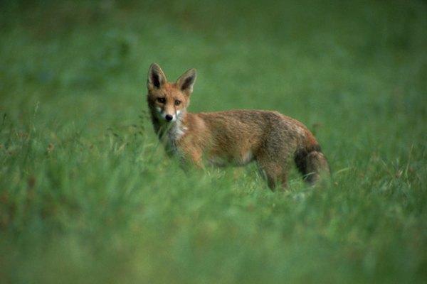 La mantequilla de maní puede usarse para atraer a un zorro.