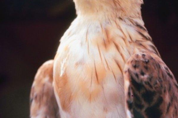 Los halcones usan sus picos para matar a su presa.