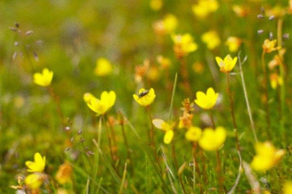 La bioma de la tundra es hogar de más de 400 variedades de flores.