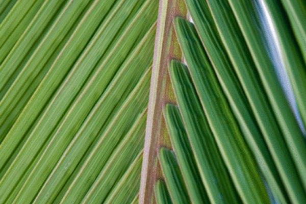 Las hojas verdes de palma son más flexibles que las variedades secas.