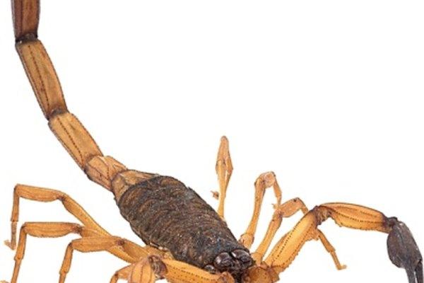 Escorpio parece el escorpión que representó a los antiguos.