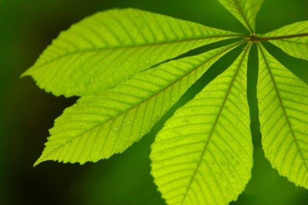 La fotosíntesis se produce en las hojas de las plantas y los árboles verdes.