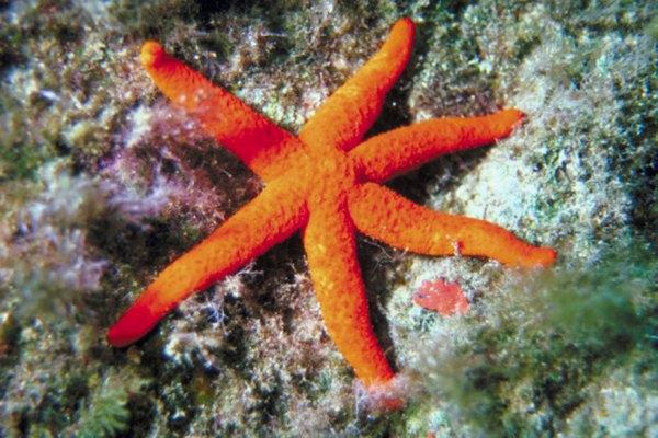 La decadencia de las criaturas del océano, como la estrellas de mar, proporcionan los nutrientes necesarios.