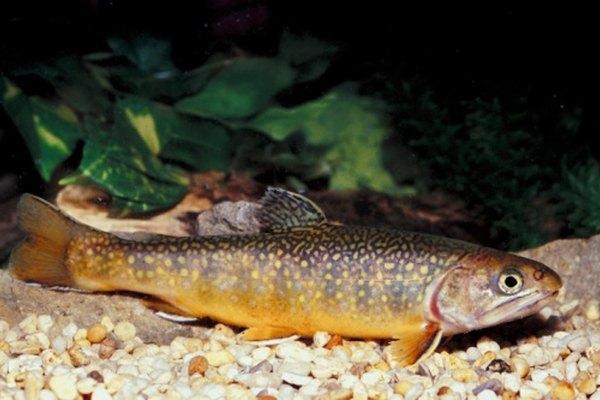 Los peces están conectados a los bosques, en parte debido a que comen larvas de insectos.