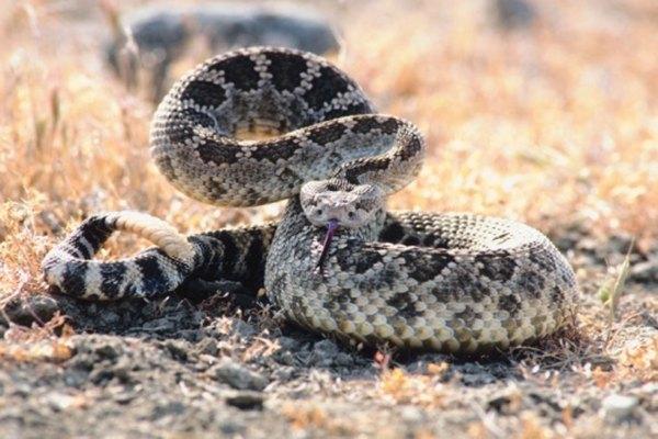 Las serpientes de cascabel son muy peligrosas.