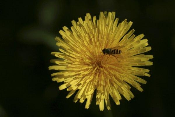 Las abejas y los dientes de león forman una relación simbiótica.