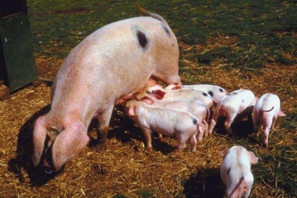 Estimar el peso de los cerdos ayuda a determinar la cantidad de alimento que necesitan.