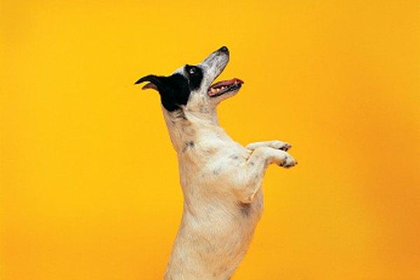Los refuerzos primarios se usan a menudo en el entrenamiento de perros.