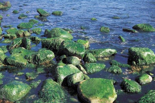 Las algas pueden crecer bajo condiciones muy disímiles.