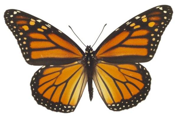 Una mariposa tiene simetría bilateral.