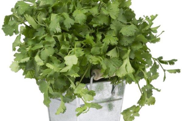 Haz múltiples siembras de cilantro para extender su uso.