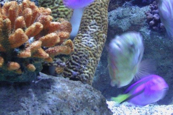 Los corales crecen desde las rocas en el suelo marino.