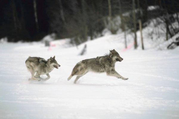 Los lobos grises pueden alcanzar rápidamente las 18 millas (29 km) a  velocidad de trote.
