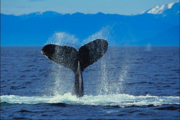 Un cachalote que está buceando pueden cazar a profundidades superiores a una milla (1,61 km).