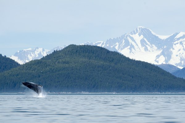 Whale Breach in Front of Breathtaking Mountains at Glacier Bay
