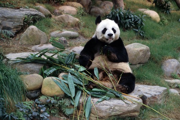 biotic abiotic factors of the giant panda animals mom me