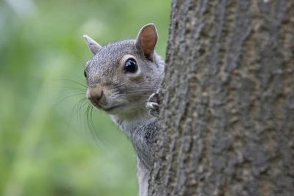 The Differences in Male and Female Squirrels   Animals - mom.me