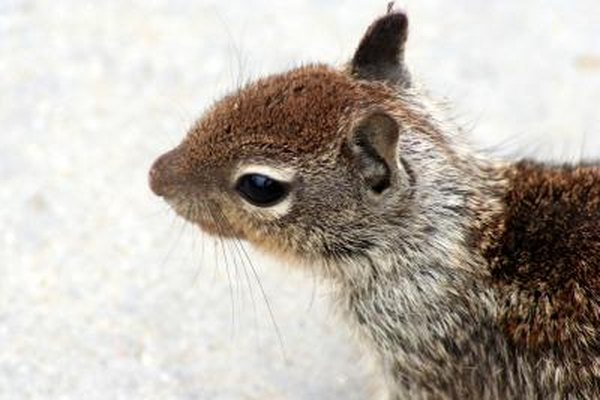 do male squirrels help with babies