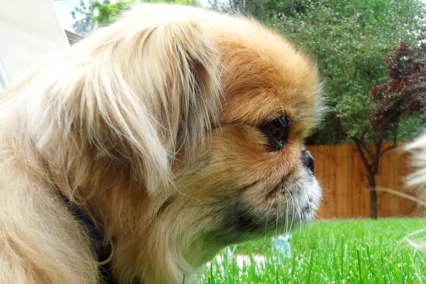 Information On A Chihuahua Pekingese Mix Animals Momme