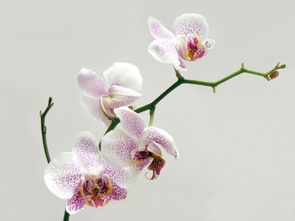 An orchid cloche is made for smaller orchids.