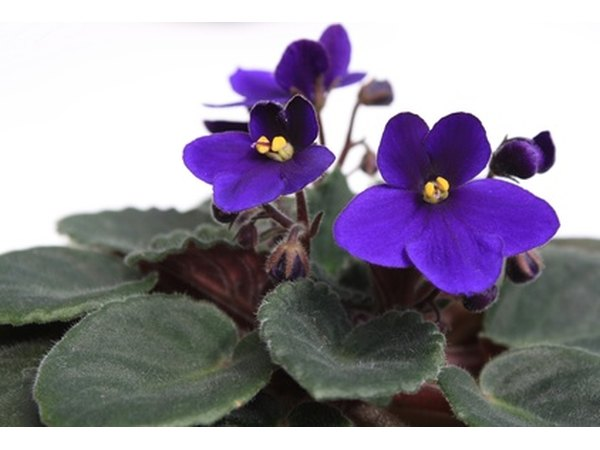 Give African violets a better chance to grow under glass.