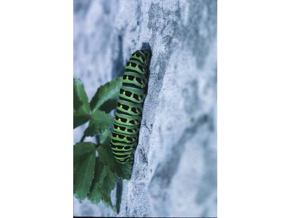 A swallowtail butterfly caterpillar