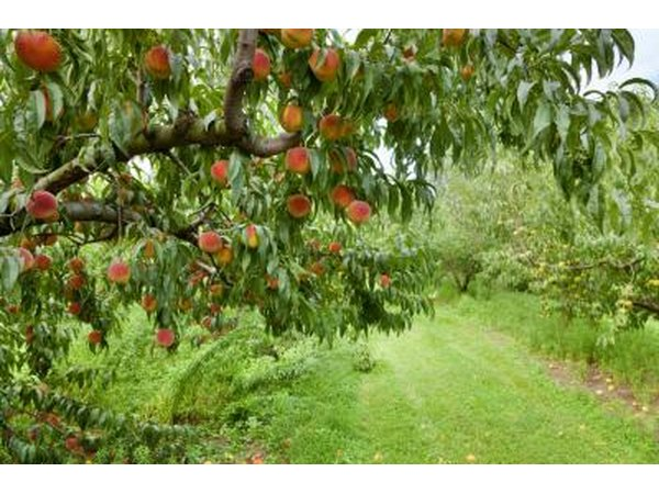 peach tree in fruit orchard