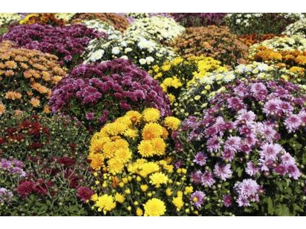 Mums may be perennials or annuals.