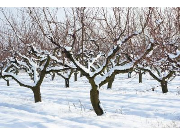peach trees covered in snow