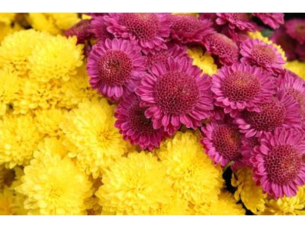 Mums come in many different colors.