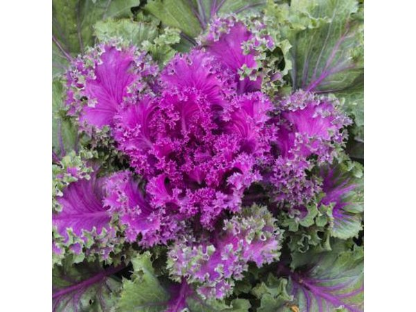 Brilliant, crinkled kale leaves light up the garden.