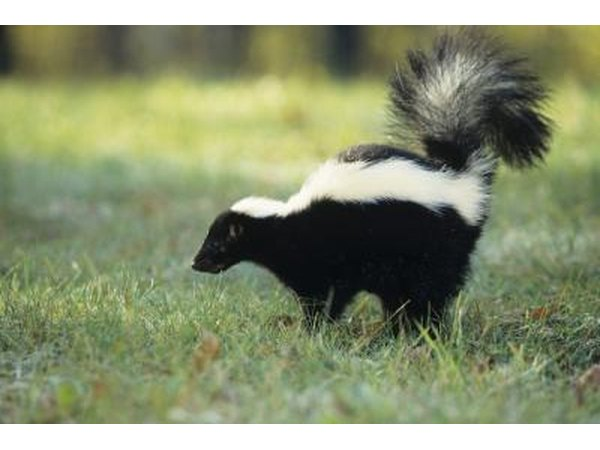 Skunks forage.