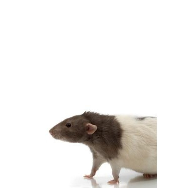 Rat mites are harmful to your rat.