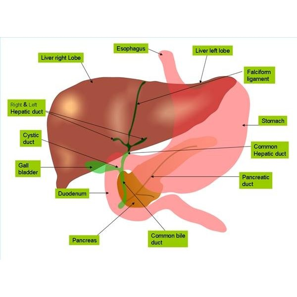 What Does the Liver Do With Amino Acids?