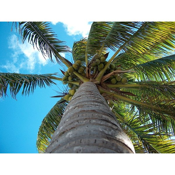The fruit of the coconut tree provides fabulous, hair-growing properties.