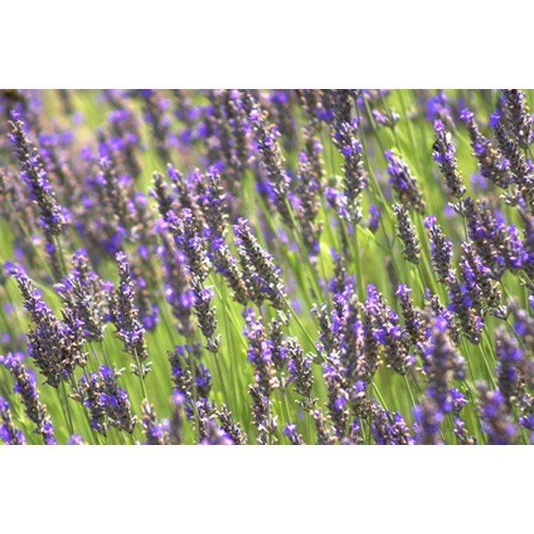 Essential oils made from lavender can be used with homemade body wraps.