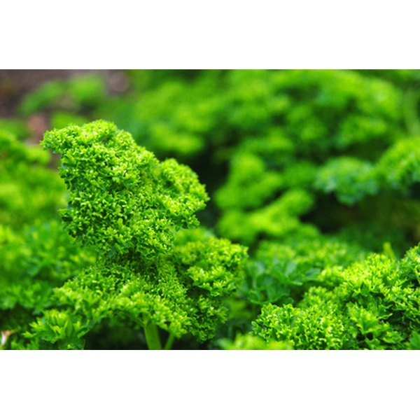 Parsley contains twice the amount of iron as spinach.