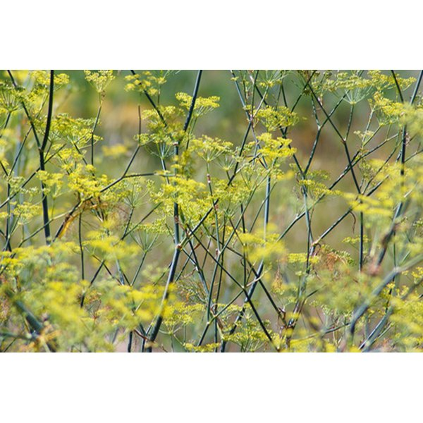Seeds from the fennel plant are beneficial for heartburn.