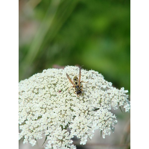 Queen Anne's Lace is the flower of the Daucus carota plant that carrot seed oil comes from.