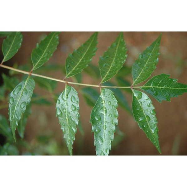 Neem leaves, bark, seeds and fruit are used to treat skin and hair conditions.