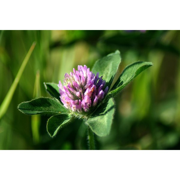 Red clover is a common meadow weed that has estrogen like properties.