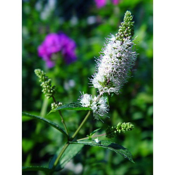 Spearmint is the mint commonly found in gardens.