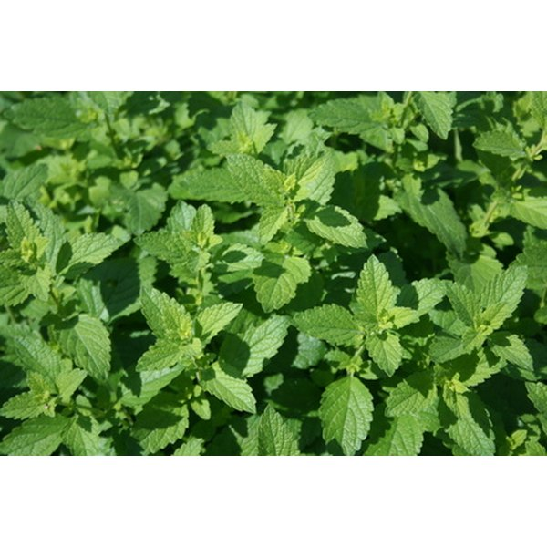 Peppermint oil is found in the leaves, stems and flowers of the peppermint plant.