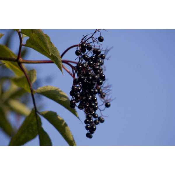 Elderberry, medically known as Sambucus nigra, is a fruit-bearing shrub native to Europe and North America.