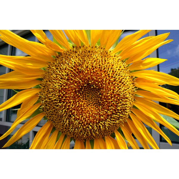 Sunflower oil is often found in hair products.